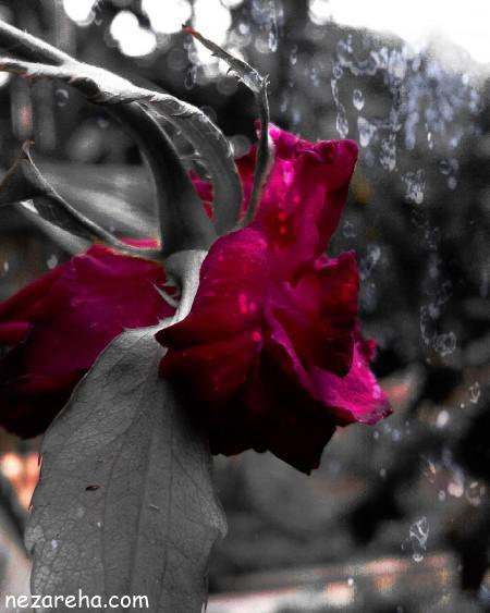 عکس گل رز هلندی , عکس های گل رز , گل رز زیبا و مجلسی , گالری عکس های گل رز