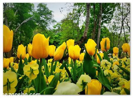 عکس گل لاله قرمز , عکس های گل لاله , تصاویر گل لاله زرد , گل لاله زیبا
