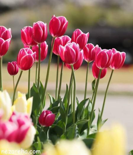 عکس های زیبا گل لاله , گل لاله برای پروفایل , تصاویر زیبا از گل لاله