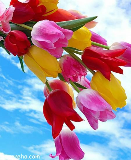 لاله , گل لاله , عکس گل لاله , تصویر گل لاله , لاله قرمز و زرد