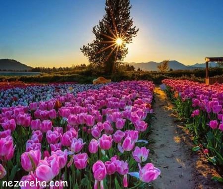 گل لاله , عکس گل لاله , تصاویر گل لاله , گل لاله قرمز , گل لاله زرد ,