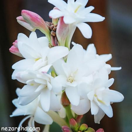 عکس گل مریم , گل مریم , عکس گل مریم با کیفیت , تصاویر گل مریم سفید ,