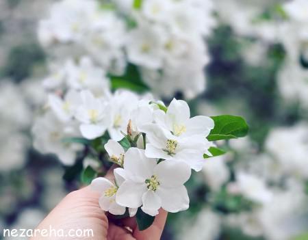 عکس گل مریم سفید رنگ , مریم , عکس گل مریم زیبا , تصاویر مریم