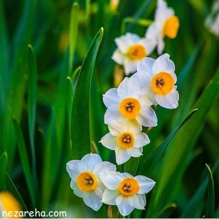 عکس گل نرگس , دسته گل نرگس , عکس گل نرگس برای پروفایل , تصاویر زیبا گل نرگس ,